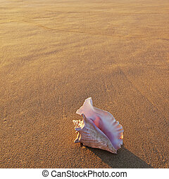 Shell in the setting sun - Queen conch shell sitting on...