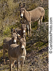 Wild Burros in Arizona - A small herd of wild donkeys or...