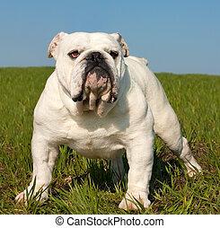 English bulldog - Beautiful white male english bulldog...