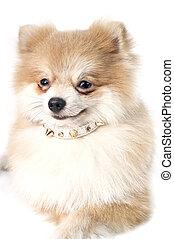 The cute Pomeranian dog over white
