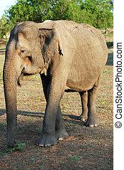 Old Elephant - Very old wild female elephant (lephus maximus...