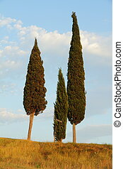 group of cypresses in Tuscany - mediterranean cypresses in...