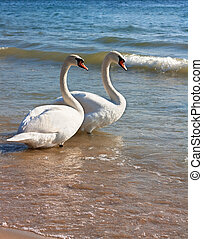 Two swans - A swan familyTwo swans on the beach shore