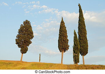 group of cypresses in Tuscany - characteristic tree in...
