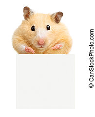 Hamster hold empty white poster isolated on white