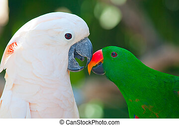 Cockatoo and lori parrot - Birds in love: Cockatoo and lori...