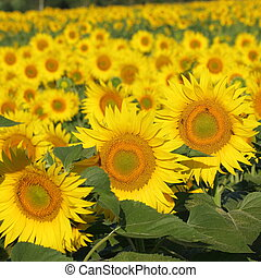 summer - flowering sunflowers closeup, Tuscany