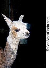 Newborn Llama (Lama glama)
