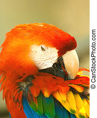 Parrot - Beautiful exotic parrot in zoo. Red Macaw (Ara...