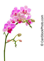 blooming orchid on a white background - beautiful orchids...