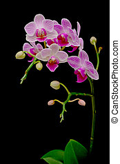 beautiful orchids blooming branch on a black background