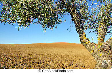Olive tree  in the cultivated field