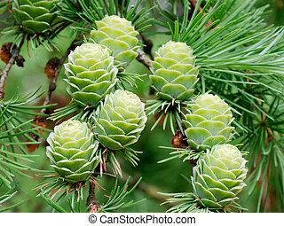 larch, cones