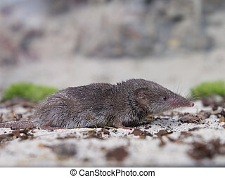 Greater white-toothed shrew (Crocidura russula) sideview