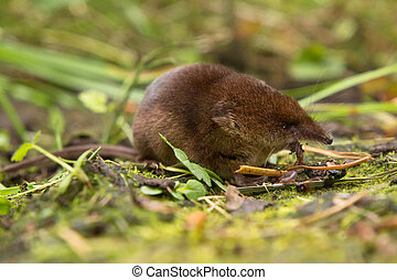 Common shrew (Sorex araneus) eating worm