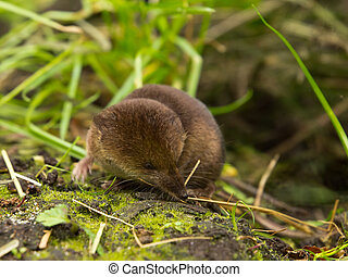 Common shrew (Sorex araneus) looking aside