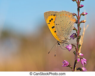 Small Copper butterfly, Lycaena phlaeas on heath