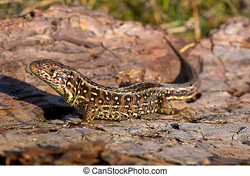 Sand lizard side view