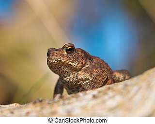 Common toad Bufo Bufo on log with beatiful background