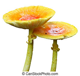 A newly emerged pair of full grown Amanita Jacksonii edible...