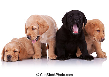 tired puppies - group of small labrador retriever puppies...