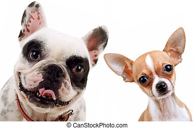 chihuahua and french bull dog - picture of two little dogs -...