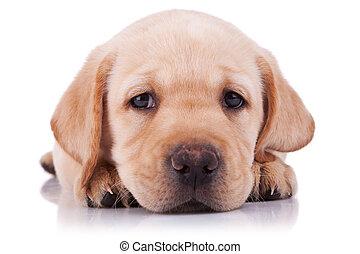 sad little labrador retriever puppy