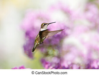 Hummingbird in motion. - A beautiful female ruby throated...