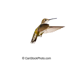 Hummingbird in motion, isolated. - Close up image of a...