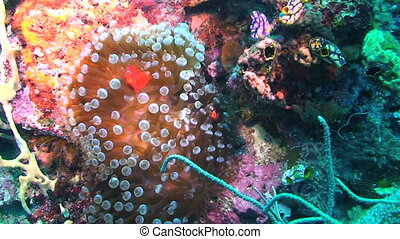 Spinecheek Anemonefish and Anemone - Spinecheek anemonefish,...