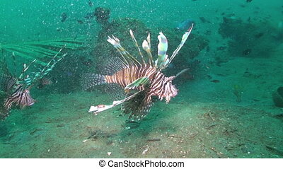 Lionfish, Pterois volitans, Papua New Guinea, Milne Bay