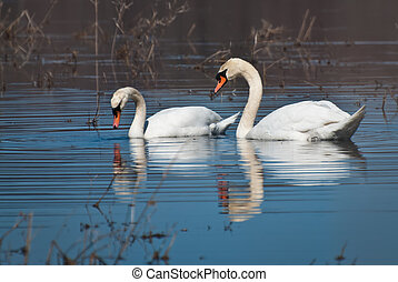 Pair of White Swans on the Water