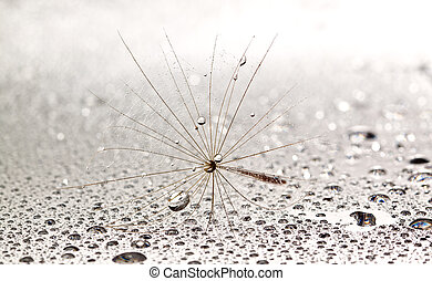 Dainty dandilion on wet surface with silverish droplets all...