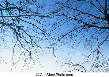 Branches - Naked branches of two trees crossing over blue...