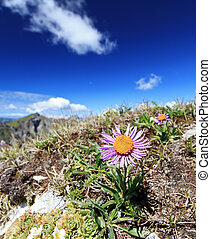 Aster Alpinus - Alpine flora in Dolomites mountain on a...