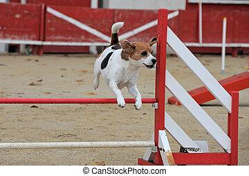 beagle in agility