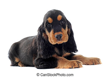 puppy english cocker - portrait of a purebred puppy english...