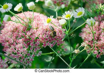 blurred Sedum background and honeybee - floral background...