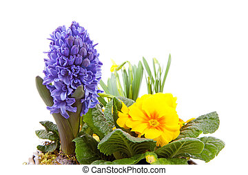 Spring flowers in closeup over white background