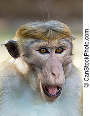Portrait of Ceylon macaque closeup - Ceylon macaque or...