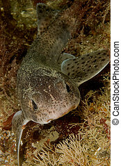Lesser spotted dogfish - Portrait of lesser spotted dogfish