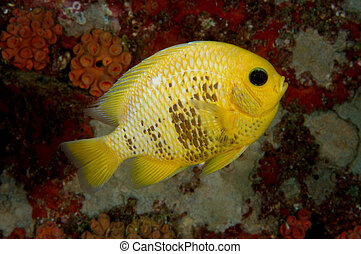 Yellow damsel fish on coral reef, Seychelles, Indian Ocean