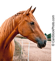 Portrait of a Chestnut Horse - Side shot of a beautiful...