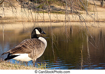 Canada Goose by a Pond in the Fall