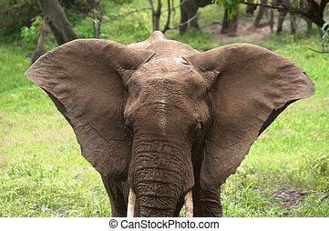 elefante, orelhas