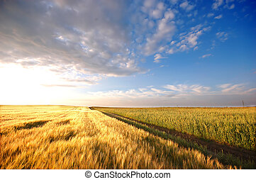 Sunset field scenery before harvest