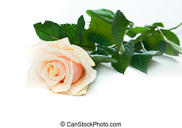 Beautiful rose on white background. Space for your text