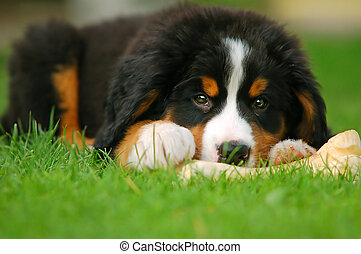 A trustful friend. Portrait of puppy Bernese mountain dog