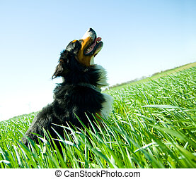 A cute, healthy dog on the field Bernese dog