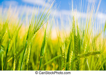 Wheat field. Agriculture - Wheat field. Sunny agriculture...